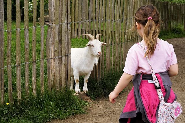 trpaslík koza u plotu