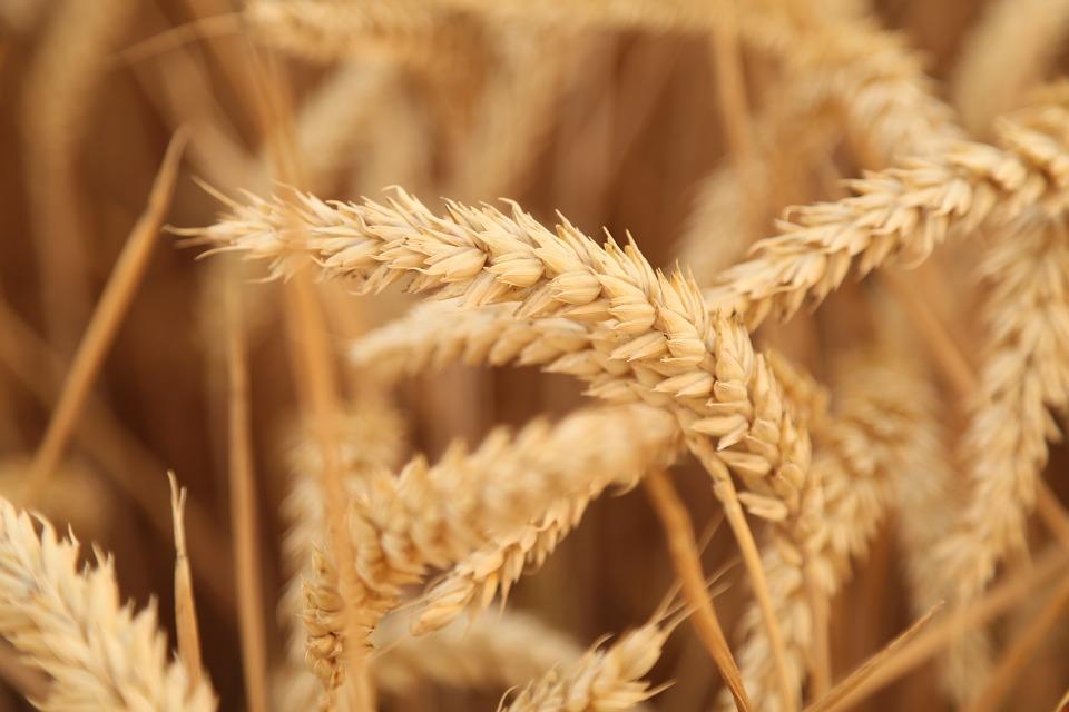 pšeničné klasy